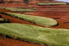 Free Red Land And Wheat Field Stock Photography - 5559862