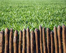 Free CORN FIELD Royalty Free Stock Image - 55560196