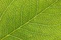 Free Leaf Macro Royalty Free Stock Photos - 5564678