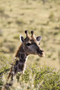 Free Giraffe Head Stock Photos - 5565113