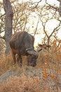 Free Buffalo Royalty Free Stock Photos - 5566408