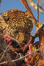 Free Leopard In A Tree With Kill Royalty Free Stock Images - 5568689