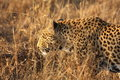 Free Leopard In The Sabi Sands Royalty Free Stock Photos - 5568918