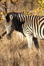 Free Zebra In Sabi Sands Royalty Free Stock Photography - 5569857