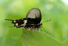 Free Red Belly S Butterfly Stock Photos - 5560773