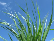 Free Grass On Sky Royalty Free Stock Photography - 5561387