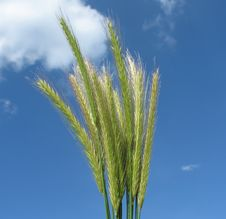 Grass On Sky Royalty Free Stock Photography