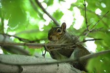 Free Young Squirrel Royalty Free Stock Photos - 5561498