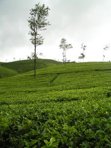 Free Plantation Tea Stock Images - 5561624