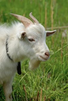 Free Goat Stock Images - 5562044