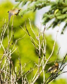 Free Cedar Waxwings Stock Image - 5563521