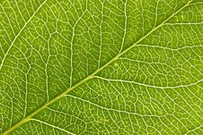 Free Leaf Macro Royalty Free Stock Photos - 5564678