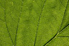 Free Leaf Macro Royalty Free Stock Photography - 5564917
