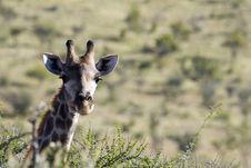 Free Giraffe Head Stock Photos - 5565163