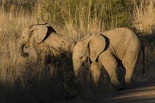 Free Following Elephants Royalty Free Stock Photo - 5565275