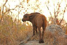 Free Buffalos And Calf Stock Image - 5566231