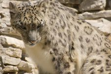 Free The Snow Leopard Royalty Free Stock Photo - 5566295