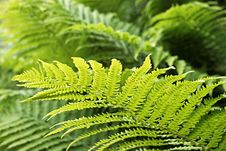 Free Fern Royalty Free Stock Photo - 5566355