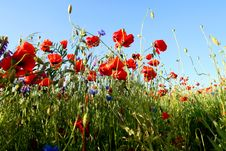 Free Spring Landscape - Red Poppies Stock Photography - 5566782