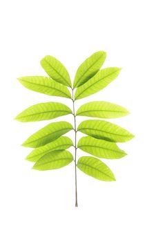 Free Green Leaf Stock Photo - 5566900