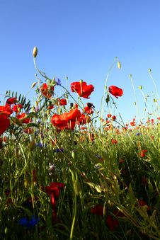 Free Spring Landscape - Red Poppies Stock Photo - 5567010