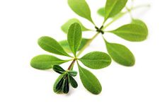 Free Weed Royalty Free Stock Photo - 5567125