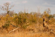 Free Male Waterbuck Royalty Free Stock Image - 5567176