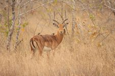 Free Male Impala Stock Photography - 5567232