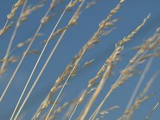 Free Dry Grass Royalty Free Stock Photography - 5567297