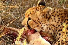 Free Cheetah On A Kill Royalty Free Stock Image - 5567456