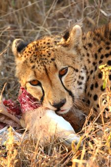 Free Cheetah On A Kill Royalty Free Stock Images - 5567499