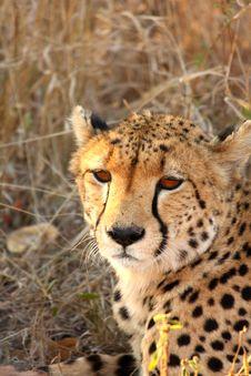 Free Cheetah On A Kill Stock Photography - 5567502
