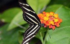 Zebra Longwing Butterflies Stock Photography