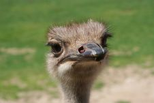 Free Ostrich Royalty Free Stock Image - 5567556