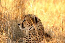 Free Cheetah Royalty Free Stock Photos - 5567578