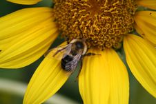 Free Bee On Yellow Flower Stock Photography - 5567612