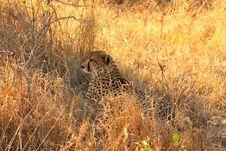 Free Cheetah Stock Photography - 5567832