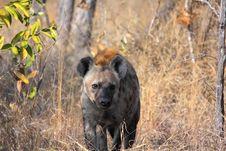 Free Hyena In Sabi Sands Royalty Free Stock Photo - 5568015