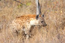 Free Hyena In Sabi Sands Stock Photography - 5568022