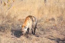 Free Hyena In Sabi Sands Stock Photography - 5568062
