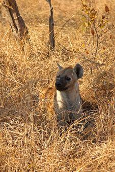Free Hyena In Sabi Sands Royalty Free Stock Images - 5568109