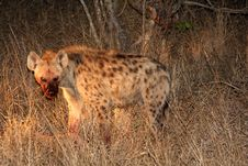 Free Hyena On A Kill In Sabi Sands Stock Photos - 5568123