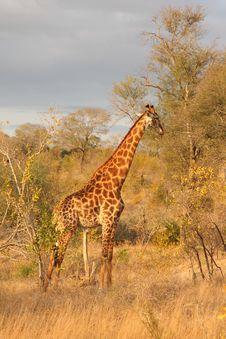 Free Giraffe In Sabi Sands Stock Photo - 5568190