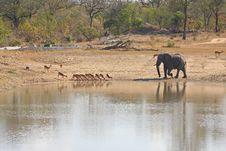Free Elephant In Sabi Sands Stock Photos - 5568193