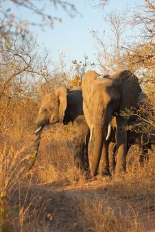 Free Elephant In Sabi Sands Royalty Free Stock Photos - 5568308