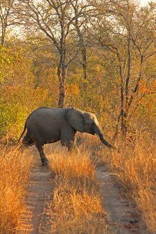 Free Elephant In Sabi Sands Stock Photo - 5568310