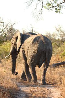 Free Elephant In Sabi Sands Stock Image - 5568391