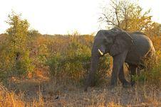 Free Elephant In Sabi Sands Stock Image - 5568401