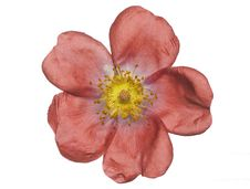 Free Rose Stock Photo - 5568550