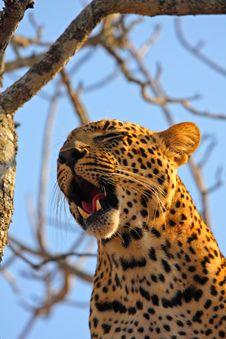 Free Leopard In A Tree Stock Image - 5568601